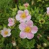 Happy Face® Pink Paradise - Bush Cinquefoil - Potentilla fruticosa