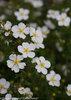 Happy Face® White - Potentilla fruticosa