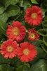 Hello! Miss Scarlet - Gerbera Daisy - Gerbera hybrid