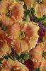 Rainbow Rhythm® 'Orange Smoothie' - Daylily - Hemerocallis hybrid