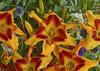 Rainbow Rhythm® Tiger Swirl - Daylily - Hemerocallis hybrid