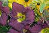 Rainbow Rhythm® Nosferatu - Daylily - Hemerocallis hybrid