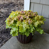 Dolce® Apple Twist - Coral Bells - Heuchera hybrid