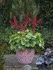 Dolce® 'Appletini' - Coral Bells - Heuchera hybrid