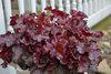 Dolce® Cherry Truffles - Coral Bells - Heuchera hybrid
