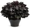 Primo™ 'Black Pearl' - Coral Bells - Heuchera hybrid