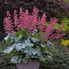 Dolce® Spearmint - Coral Bells - Heuchera hybrid
