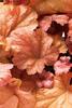 Dolce® Peach Melba - Coral Bells - Heuchera