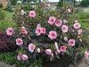 Summerific® 'Summer Storm' - Rose Mallow - Hibiscus hybrid