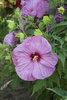 Summerific® 'Berrylicious' - Rose Mallow - Hibiscus hybrid