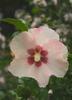 Blush Satin® - Rose of Sharon - Hibiscus syriacus