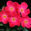 Pink Home Run® - Landscape Rose - Rosa x