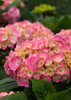Let's Dance® Big Easy - Hydrangea macrophylla