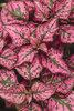 Hippo® Rose - Polka Dot Plant - Hypoestes phyllostachya