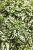 Hippo® White - Polka Dot Plant - Hypoestes phyllostachya