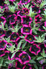 Superbells® Blackberry Punch™ - Calibrachoa hybrid