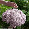 Incrediball® Blush - Smooth hydrangea - Hydrangea arborescens