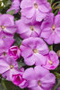 Infinity® Lavender - New Guinea Impatiens - Impatiens hawkeri