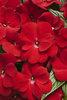 Infinity® Red - New Guinea Impatiens - Impatiens hawkeri