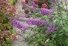 Inspired Violet™ - Butterfly bush - Buddleia x