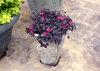 Jazz Hands® Mini - Chinese fringe-flower - Loropetalum chinense