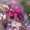 Jazz Hands® Variegated - Chinese fringe-flower - Loropetalum chinense