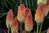 Pyromania™ Hot and Cold - Red Hot Poker - Kniphofia hybrid