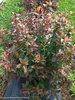 Kodiak® Red - Bush Honeysuckle - Diervilla sp.