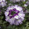 Lanai® Twister Purple - Verbena