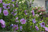 Lavender Chiffon™ - Hibiscus syriacus