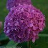 Let's Dance® Rave™ - Reblooming hydrangea - Hydrangea macrophylla