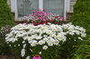 Amazing Daisies™ Daisy May® - Shasta Daisy - Leucanthemum superbum