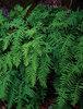 Licorice Fern - Polypodium glycyrrhiza