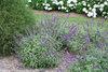 Lo & Behold®  'Blue Chip Jr.' - Butterfly bush - Buddleia x