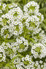 Frosty Knight™ - Alyssum - Lobularia hybrid
