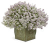 Blushing Princess® - Alyssum - Lobularia hybrid