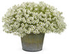 Frosty Knight® - Sweet Alyssum - Lobularia hybrid