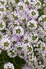 Blushing Princess™ - Alyssum - Lobularia hybrid
