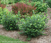 Low Scape™ Hedger - Chokeberry - Aronia melanocarpa