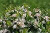 Low Scape® Mound - Chokeberry - Aronia melanocarpa