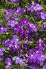Laguna® Ultraviolet™ - Lobelia erinus