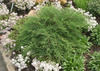 Celtic Pride™ - Siberian Cypress - Microbiota decussata