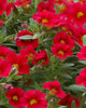 Million Bells® Trailing Red - Calibrachoa hybrid
