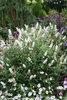 'Miss Pearl' - Butterfly Bush - Buddleia x