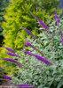 'Miss Violet' - Butterfly bush - Buddleia x