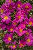 Mojave® Fuchsia - Purslane - Portulaca umbraticola