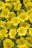 Mojave® Yellow - Purslane - Portulaca umbraticola