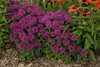 'Pardon My Purple' - Bee Balm - Monarda didyma