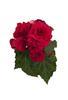 Nonstop® Deep Rose - Tuberous Begonia - Begonia x tuberhybrida