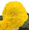 Nonstop® Yellow w/ Red Back - Tuberous Begonia - Begonia x tuberhybrida